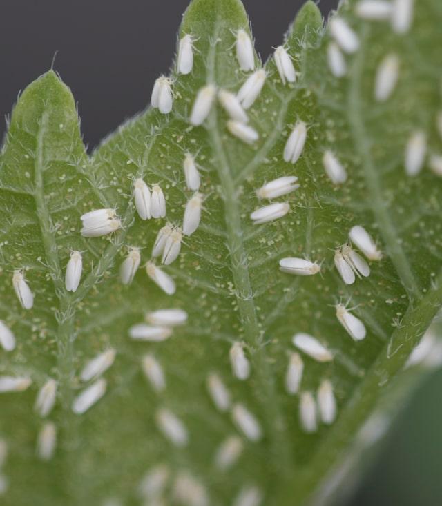 Бразильские ученые обнаружили устойчивую к инсектицидам белокрылку