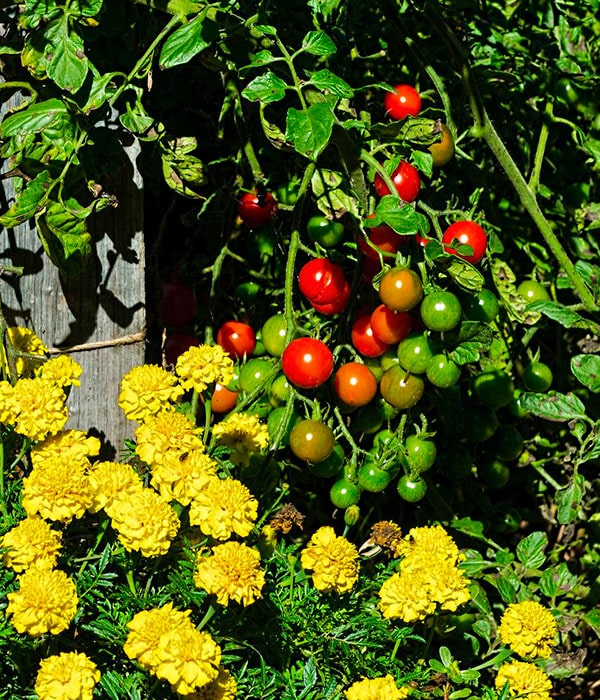 Чернобрывцы защищают помидоры от белокрылок