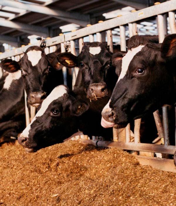 Интенсификация производства кормов обеспечит развитие животноводческой отрасли