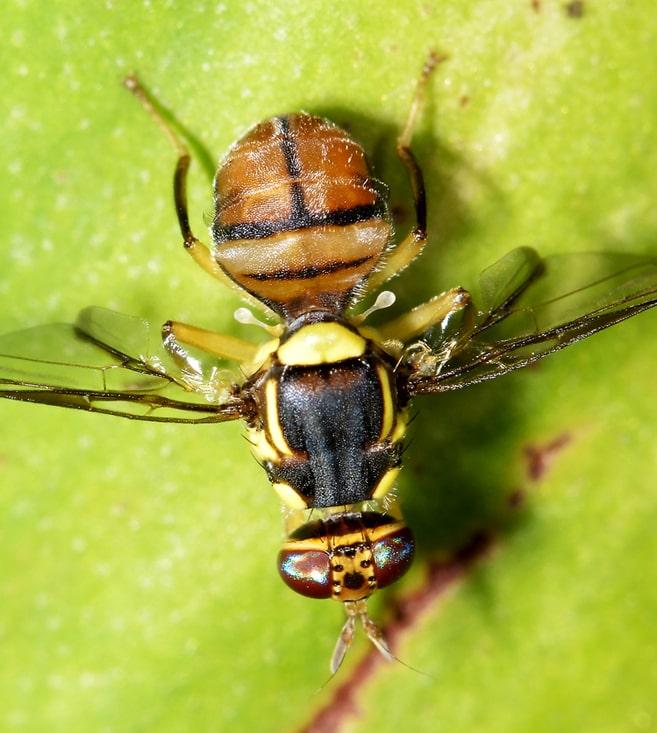 В Чили выпустили миллионы стерильных насекомых для борьбы с плодовыми мухами
