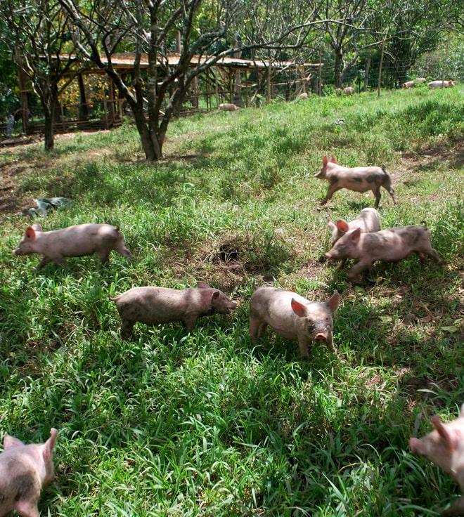 Госстат сообщил об увеличении поголовья свиней и птицы
