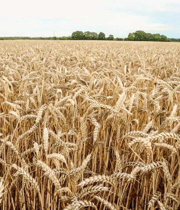 Интерес к пшенице и рапсу растет, к кукурузе, подсолнечнику и сое — падает