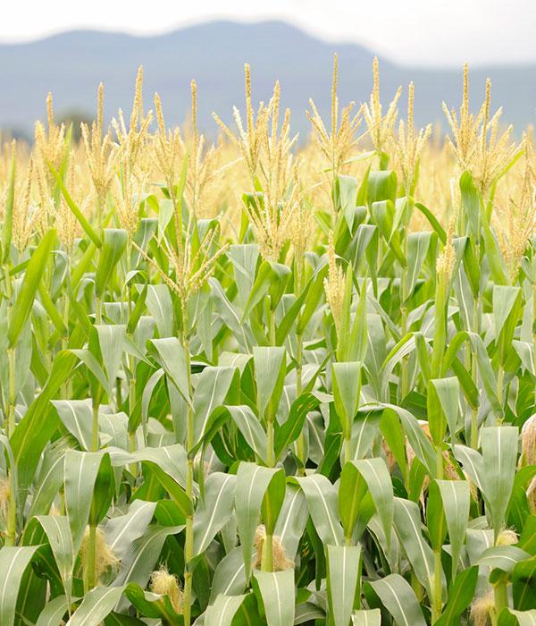 Подешевела кукуруза