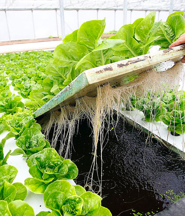 В Италии 13 га латука выращивают на плавающих платформах