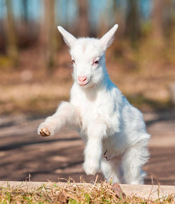 На фермах увеличилось поголовье коз