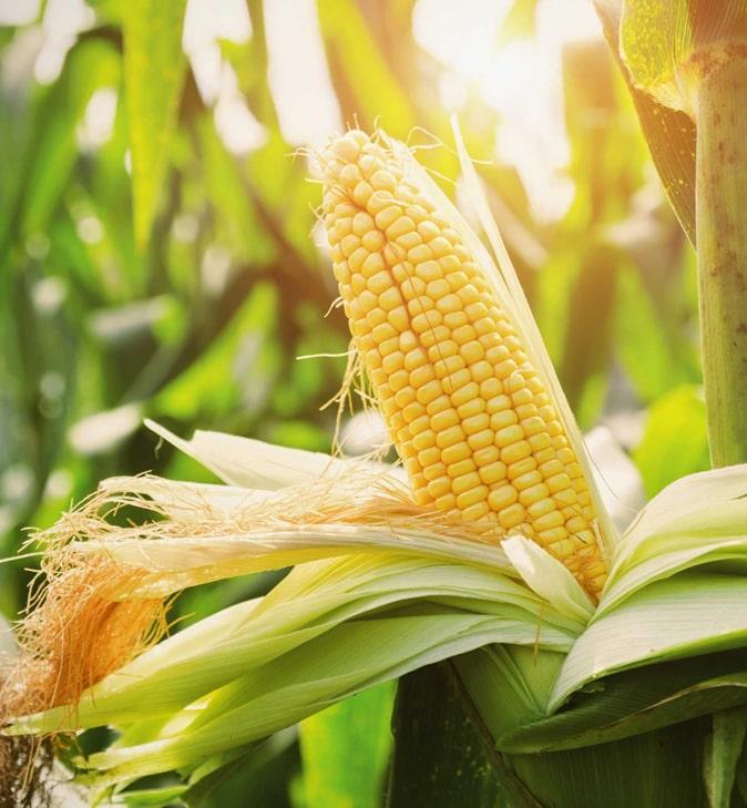 Австралийские ученые вывели высокоурожайную кукурузу, устойчивую к климатическим изменениям