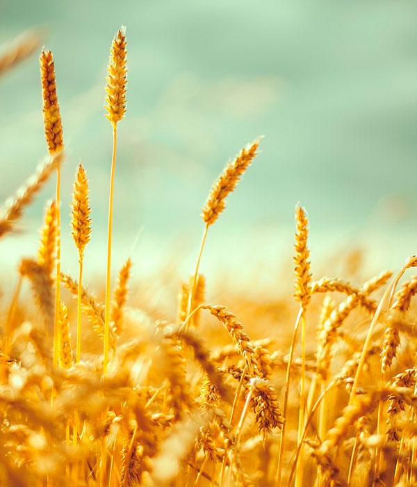 ФАО: на внешних рынках наблюдается снижение стоимости украинской пшеницы