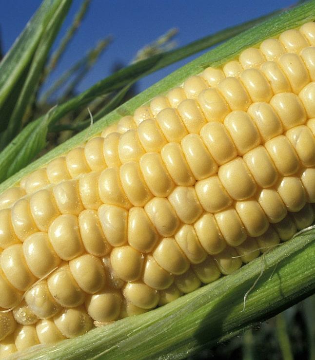 Растения кукурузы используют нематод для защиты от корневых червей