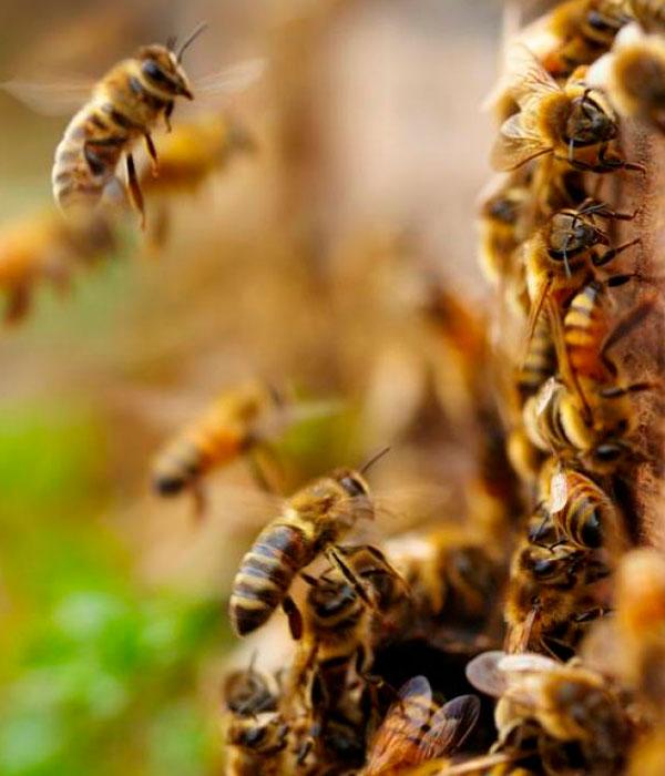 В Аргентине пчелы научились строить пластиковые гнезда
