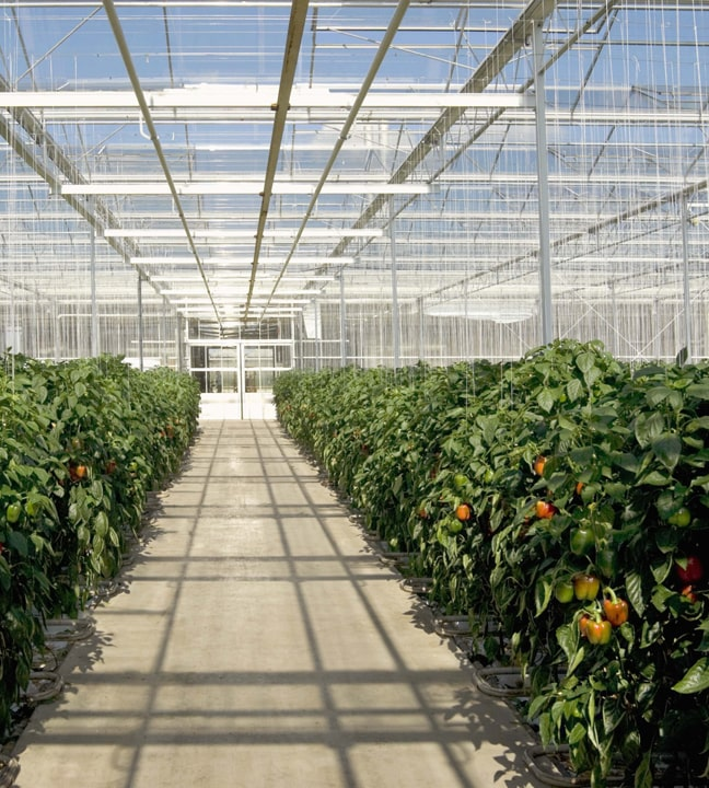 В США для защиты тепличных культур стали чаще применять полезных насекомых