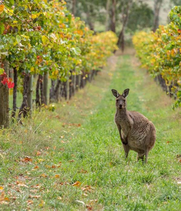 Австралийский экспорт столового винограда вырос до полумиллиарда долларов