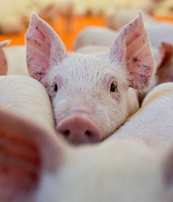 Производство свинины сократилось до 17,1 тыс. тонн