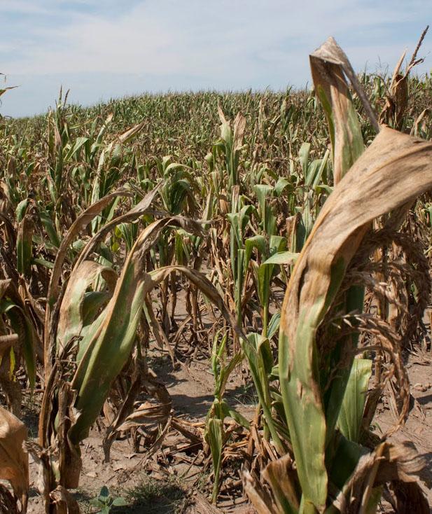 Пшеницы в мире будет больше, а кукурузы — меньше