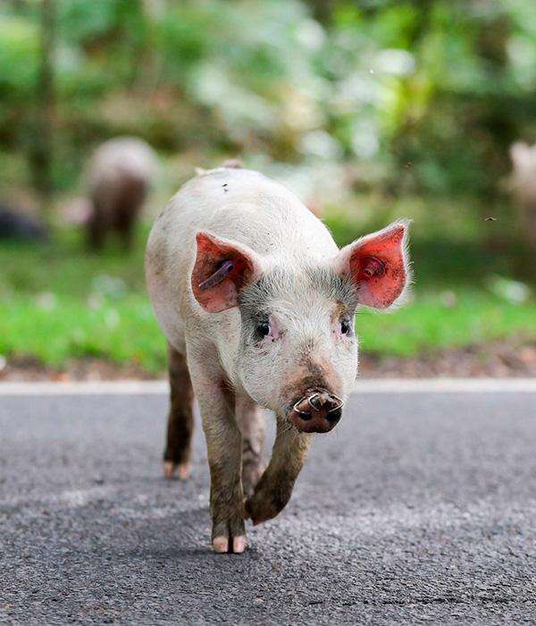 Только одно украинское свинохозяйство застраховано от АЧС