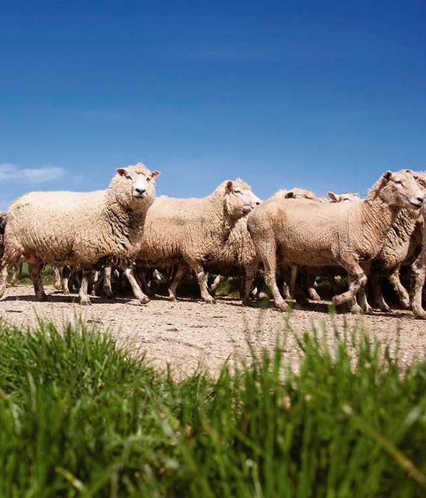 В Украине значительно сократилось поголовье овец