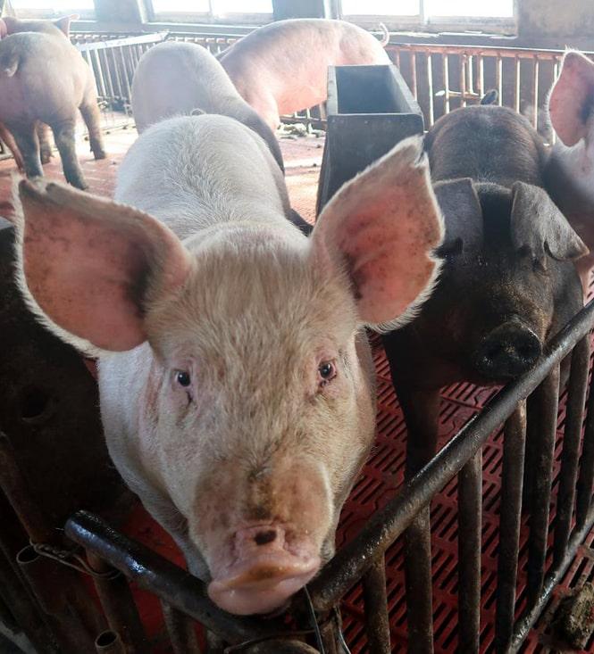 Производство свинины сокращается, уменьшается количество свинохозяйств