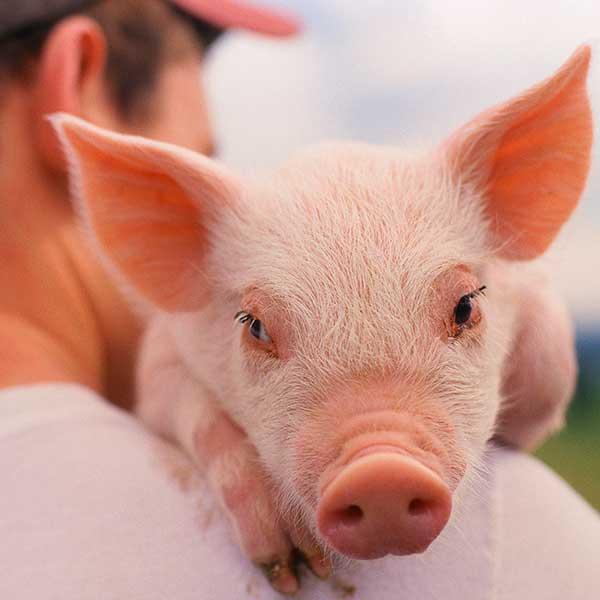 Наши свиноводы получили 22,6 млн грн компенсаций