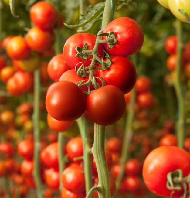 Немецкие исследователи разработали вакцины для защиты помидоров от вирусов
