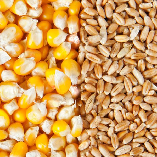 В USDA пересмотрели прогноз по производству пшеницы и кукурузы в сторону снижения