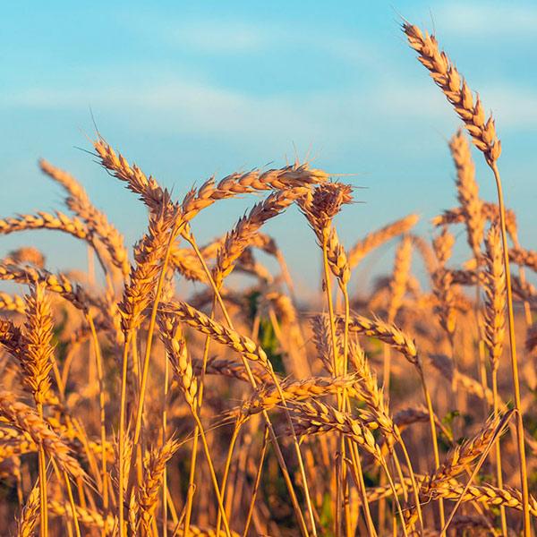 Внешние поставки украинской пшеницы будут значительно выше, чем в прошлом сезоне