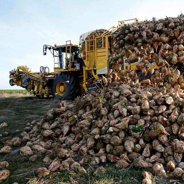 Жатва: собрано 558 тыс. тонн сахарной свеклы
