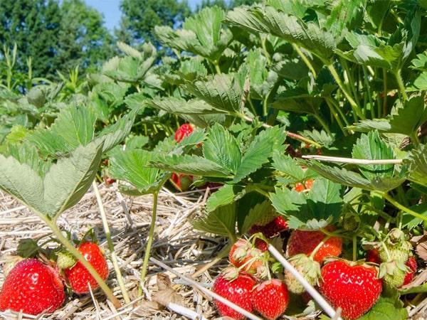 Отредактированные сельхозкультуры помогут сократить количество используемых пестицидов