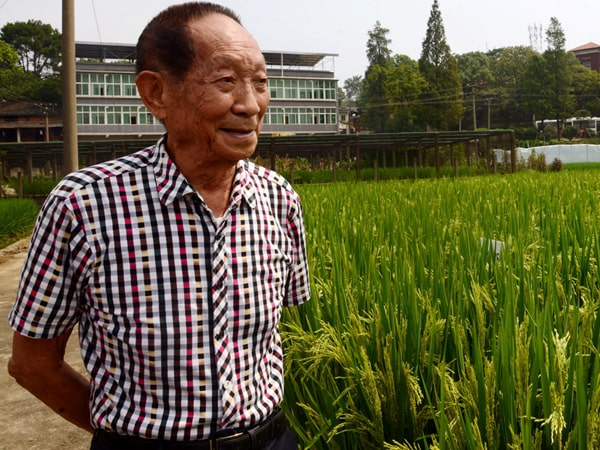В Китае вывели новый высокоурожайный гибридный рис