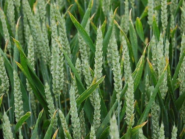 Академик Владимир Моргун: в генетике и селекции мы конкурентны разве что по озимой пшенице