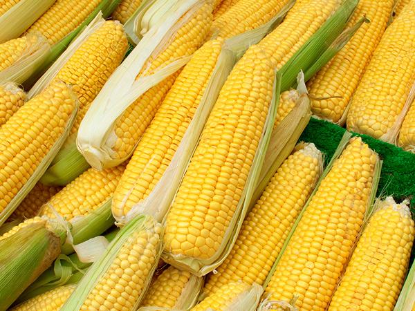 Индия собирается купить у Украины не-ГМО кукурузу