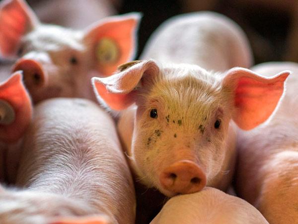 МЭБ: АЧС уничтожит около 25% всех свиней