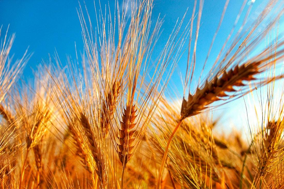 Пшеница очень полезна для человеческого организма — академик