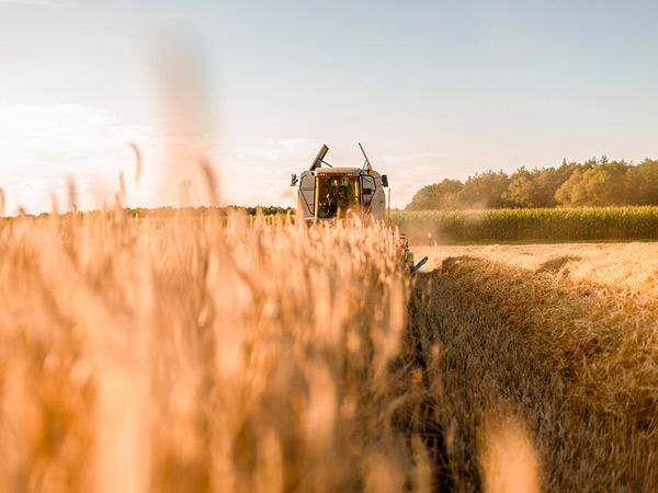 Сколько собрали зерновых: новые данные