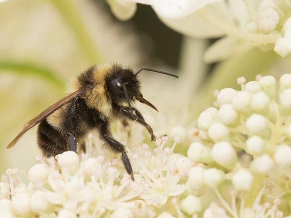 В отдельных неоникотиноидных пестицидах обнаружили полезные свойства для пчел и шмелей