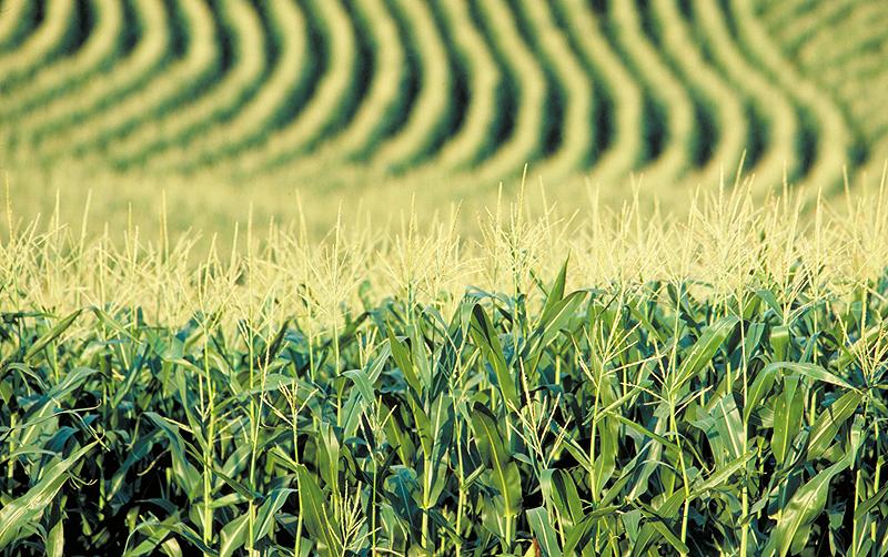 Фермеры США теряют интерес к кукурузе